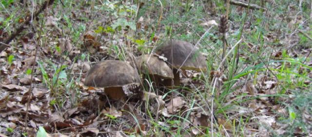 Porcini sardi - I funghi della Sardegna